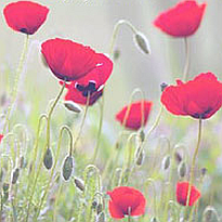 flanders_poppies