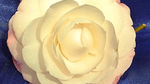 Camellia-Flower