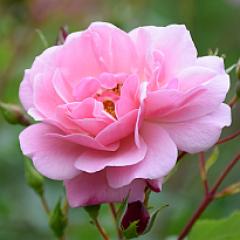 rose sq