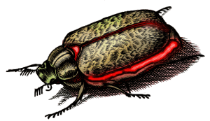 Giant Fire Beetle