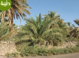 Garden of Salman al-Farsi RA