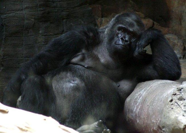 The Gorilla exhibit at the Henry Doorly Zoo is AMAZING!