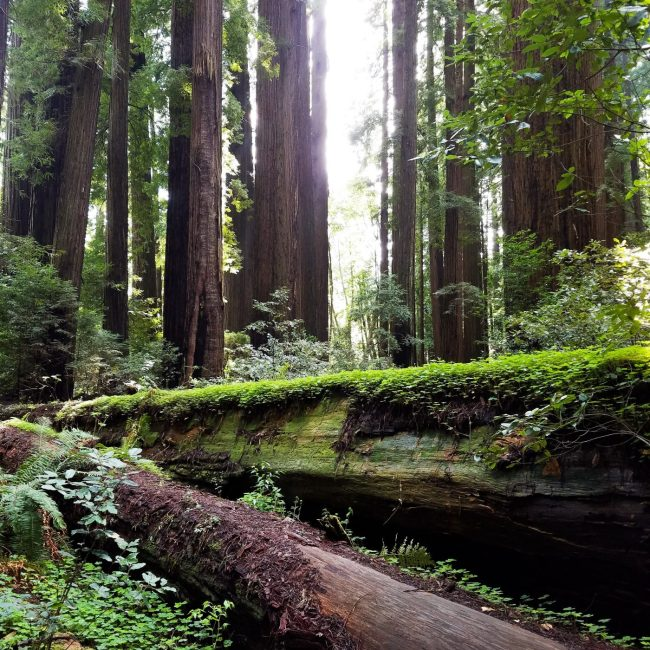Cheatham Grove Lower Humboldt County Redwoods