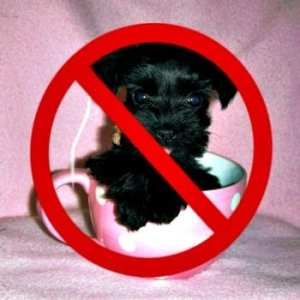 Responsible Breeders Do Not Breed A Miniature Schnauzer To Be Toy Or Teacup Sized