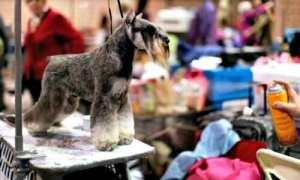 Miniature Schnauzers At An AKC Dog Show