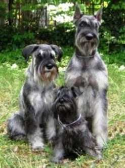 The three sizes of miniature schnauzers