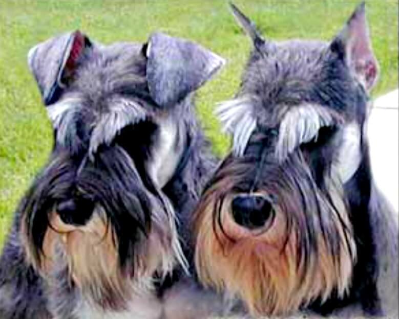 Miniature Schnauzer Ears Cropped Or Natural