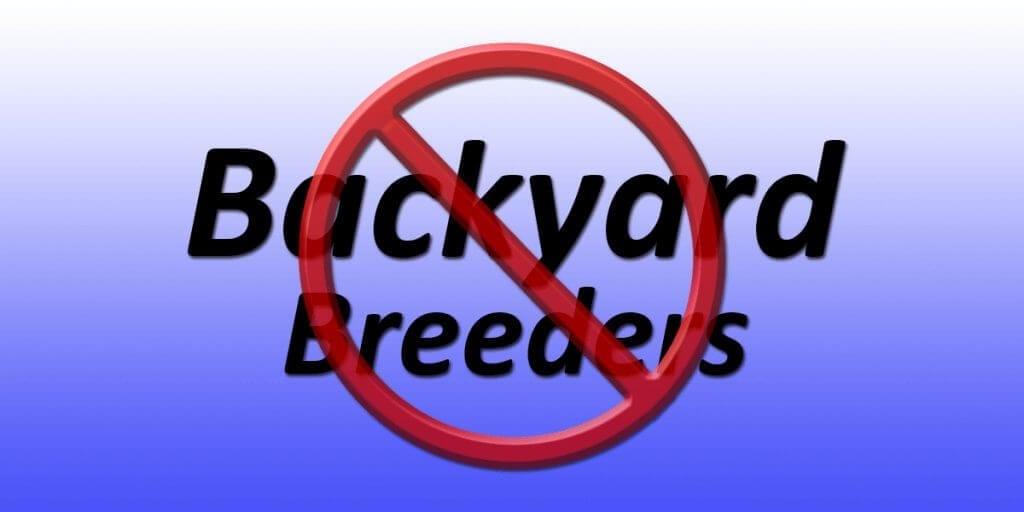 Backyard Breeders And The Miniature Schnauzer