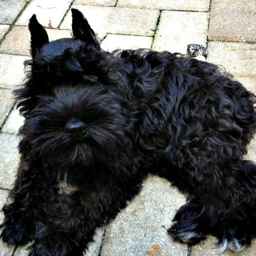 Black mini schnauzer sale