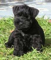 black miniature schnauzer puppies
