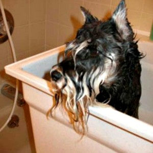 Oh No...it is bath time for this Miniature Schnauzer