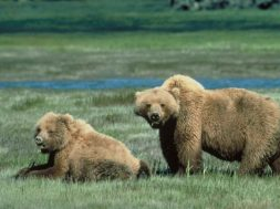 Can Bears Sense Women Menstruating