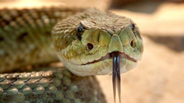 Can You Suck the Venom Out of a Snake Bite