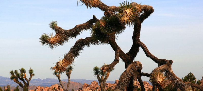 Joshua tree, trees, tree, hiking