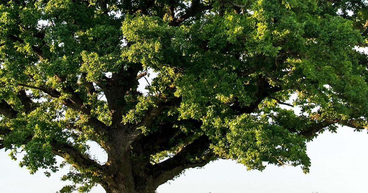 jusqu a quel age vivent les arbres