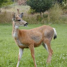 single deer in the wild