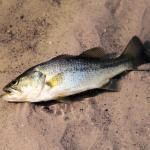 a bigmouth bass