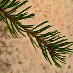 Pine needles - an example of the type of leaf from softwood