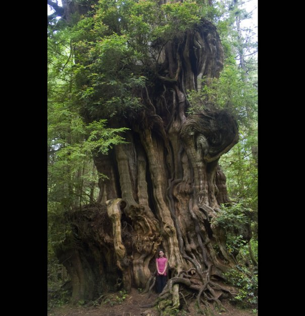 Big Cedar Tree, (tiny girl) Olympic National Park