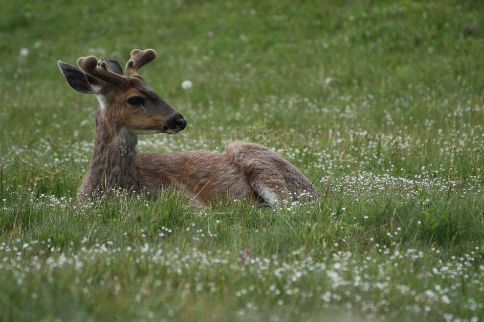 Columbian Black-tailed Deer, Coast Deer male At Olympic National Park