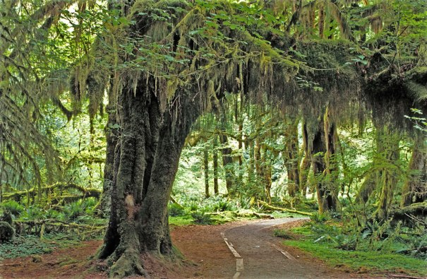 Hoh Rain Forest, Olympic National Park, Washington State