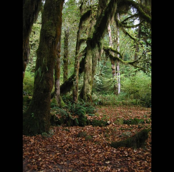 Maple leaves and sword fern cover the ground. Near the midpoint of the Hall of Mosses Trail near the Hoh Rain Forest Visitor Center