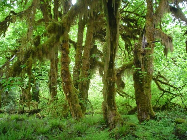 Maples in Olympic National Park's Hoh Rain Forest