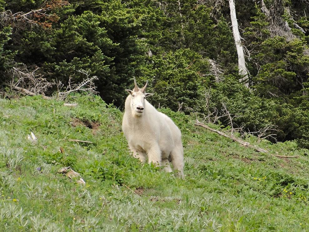 Mountain goat (Oreamnos americanus) on Olympic National Park Switchback Trail to Klahhane Ridge