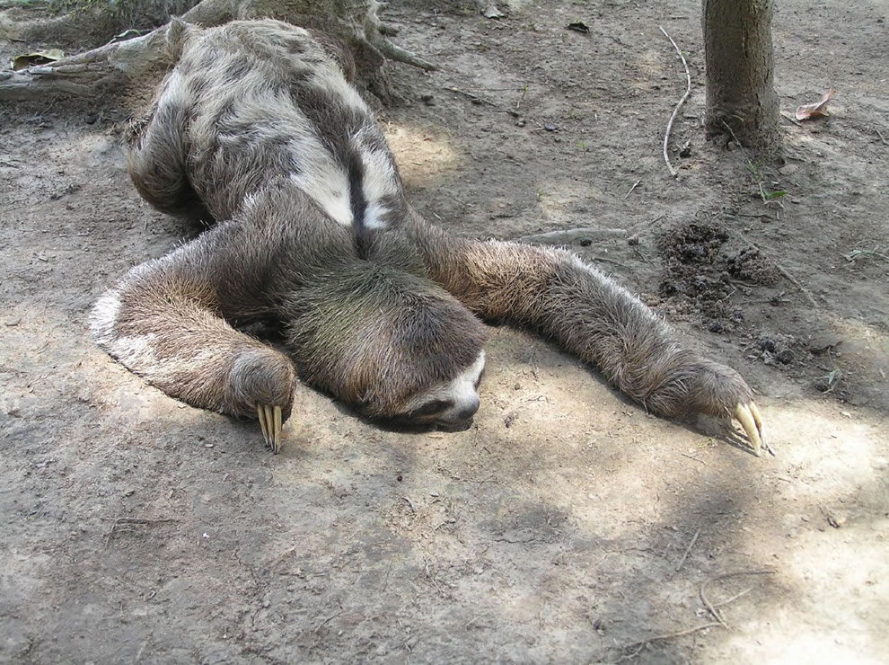 Three Toed Sloth in the Amazon