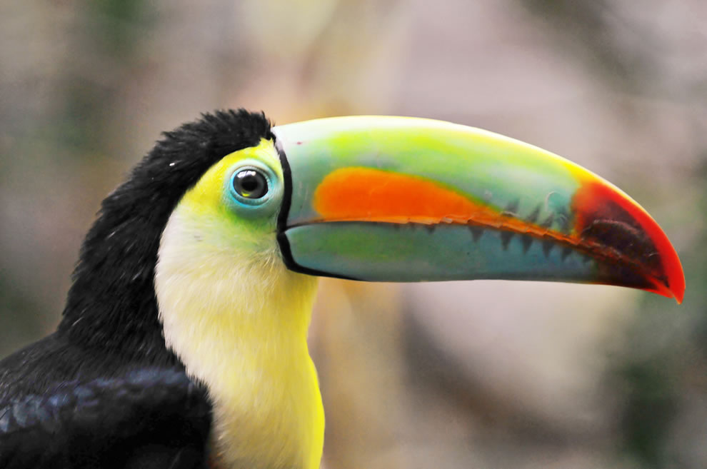 Toucan, the earl of Amazonia
