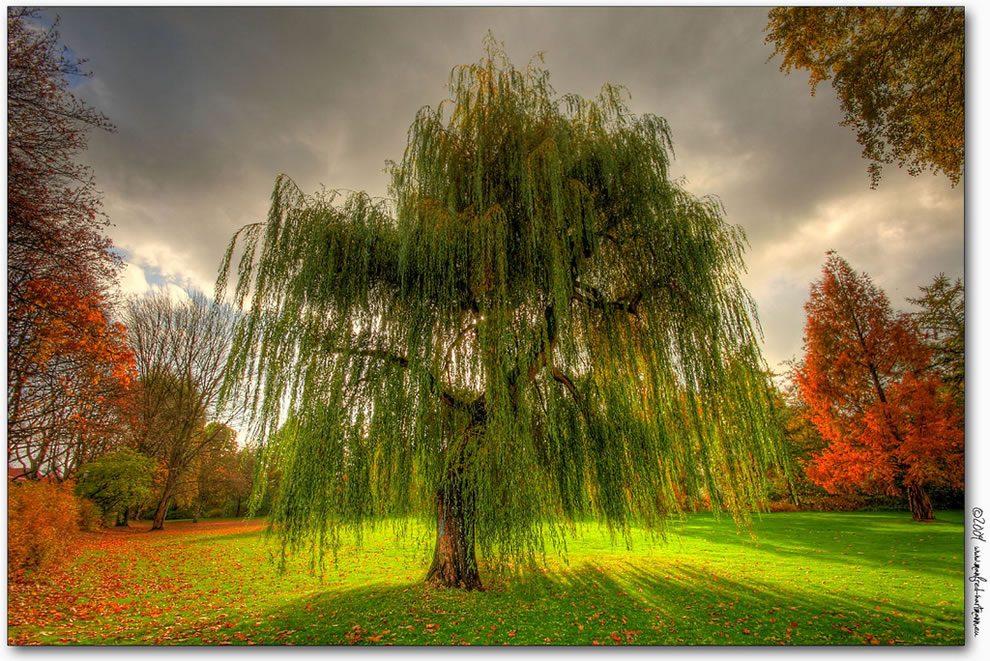 https://i1.wp.com/www.lovethesepics.com/wp-content/uploads/2011/10/Weeping-Willow-during-the-fall-in-Germany.jpg