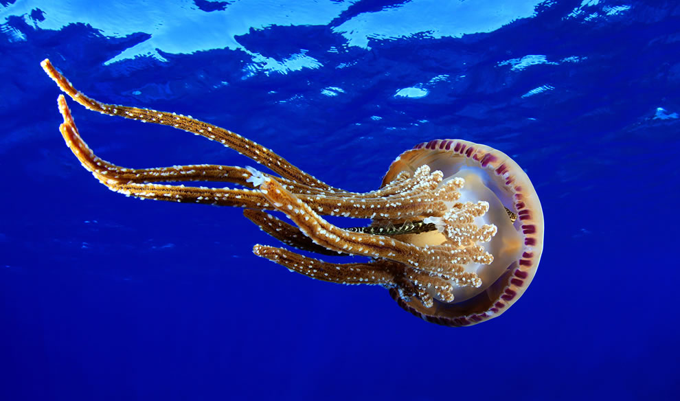 Blue Ocean and Jellyfish