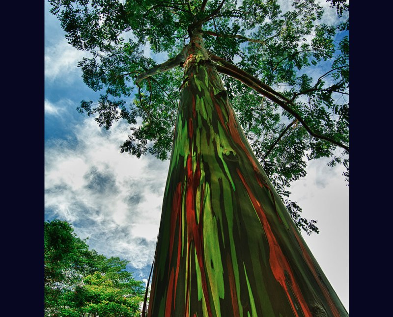 Rainbow eucalyptus, truly one of the most amazingly beautiful rainbow colored trees on earth