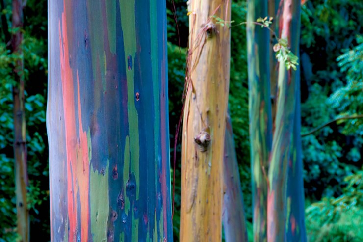 the beauty of nature, rainbow gum forest