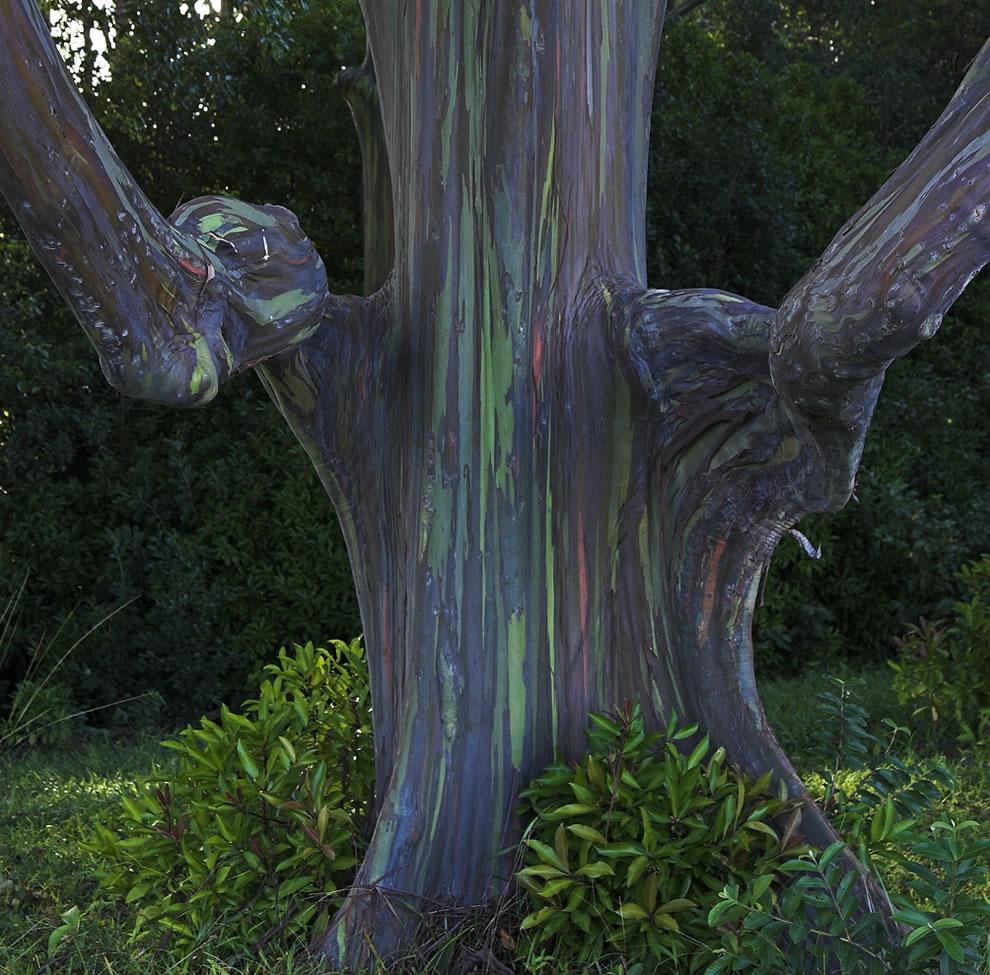 Unique shaped Rainbow Eucalyptus in a small eucalyptus grove on way to Hana, Maui
