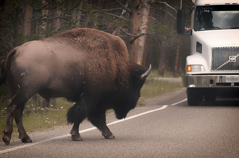 huge bison on the road next to a truck, yellowstone