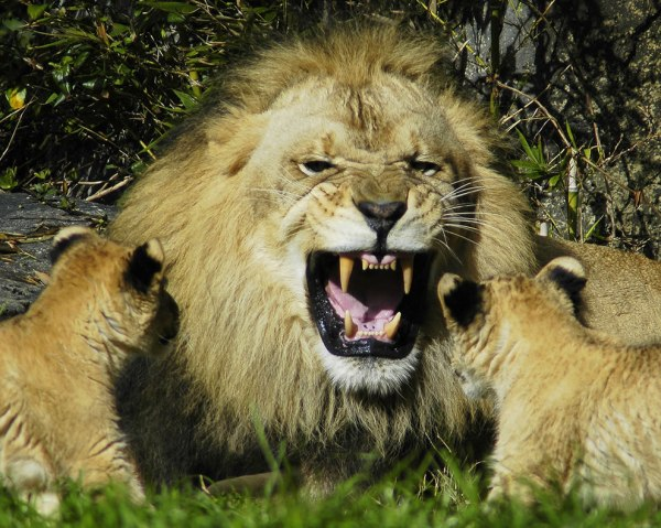 1000 images about Lion on Pinterest Asiatic lion Lion