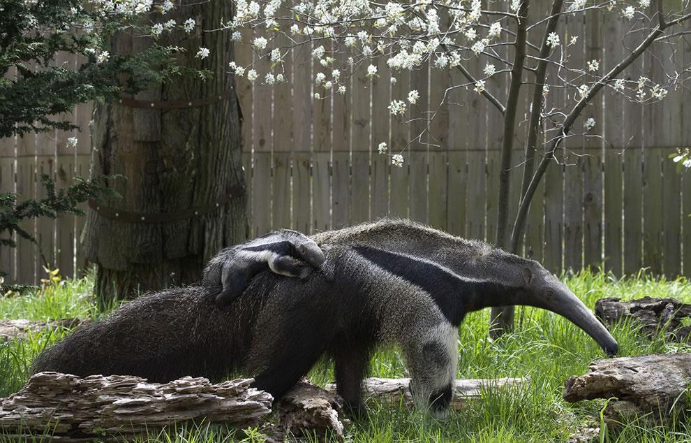 Baby Giant Anteater piggyback riding mom