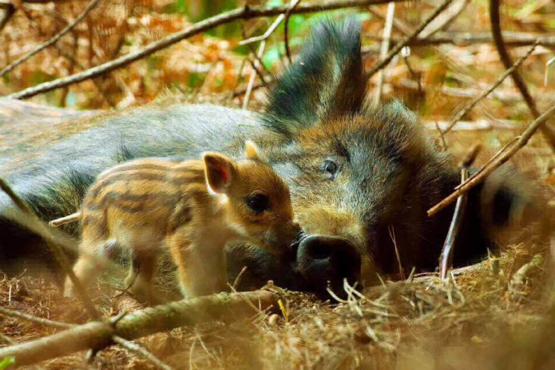 Mom and baby wildboar