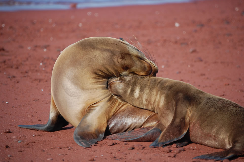 Mother sea lion and pup love