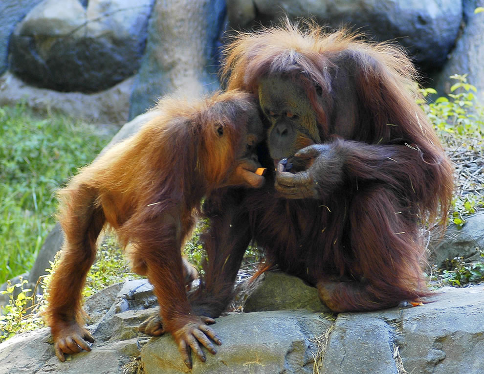 Orangutan mom with baby