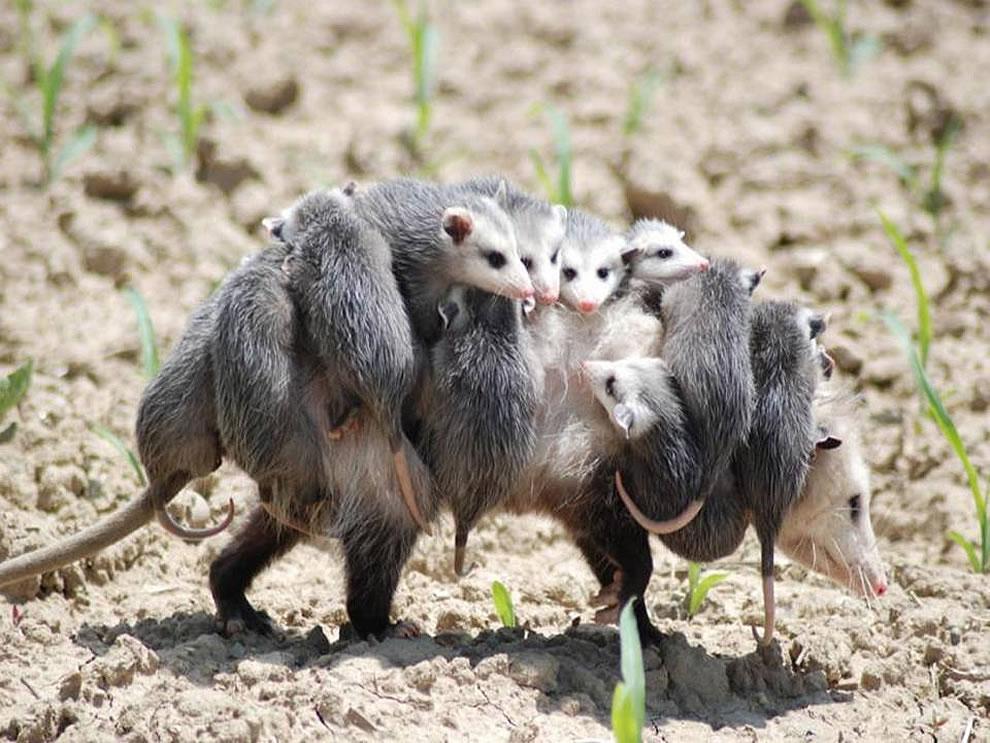 Overworked Mom possum, babysitter wanted