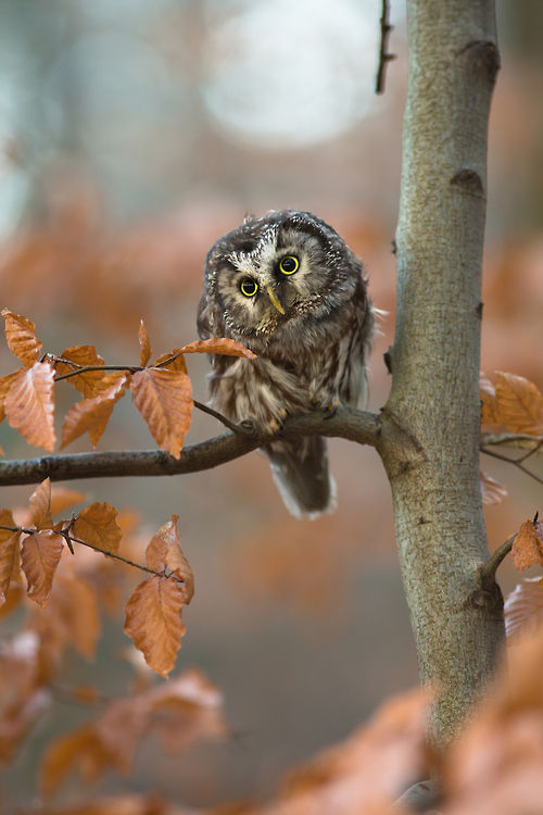 Cute Owl In The Fall Pictures Photos And Images For