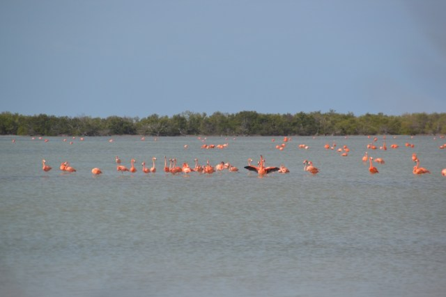 Pink flamingos Ciénaga de Zapata, Cuba