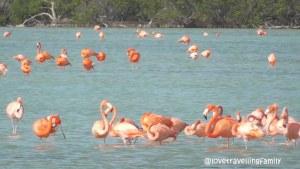 Ciénaga de Zapata, pink flamingos