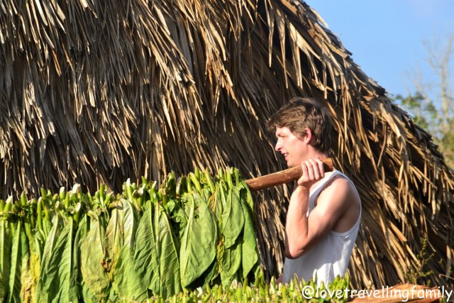 Gatherning tobacco in Viñales, Cuba