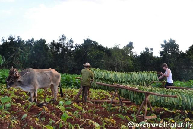 Gatherning tobacco in Viñales, Cuba