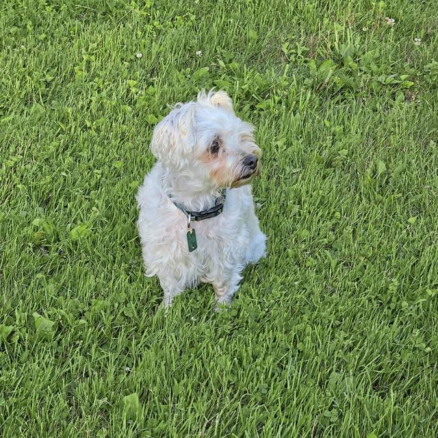 Peyton, a 9-year-old Maltese/silky terrier mix, was hurt by a bear Monday in Armbrust.