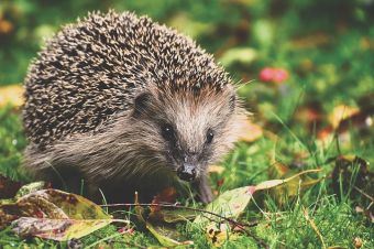 National housebuilder has joined forces with the British Hedgehog Preservation Society