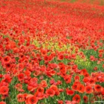 field-of-poppies.jpg